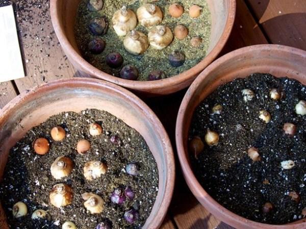 Выращивание тюльпанов дома основывается на технологии выгонки