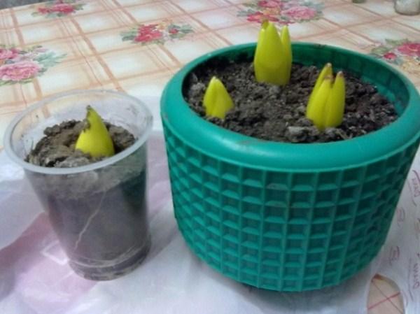 Пророщеные Лесные тюльпаны в горшке