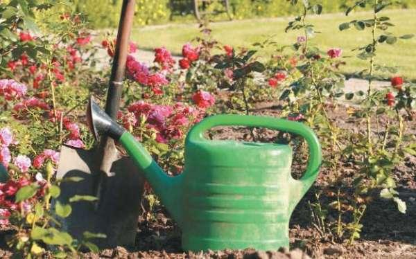 Поливать розы Розариум Ютерсен необходимо по мере подсыхания почвы