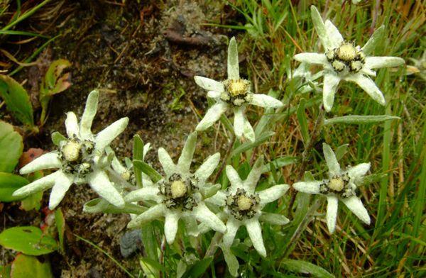 Альпийский эдельвейс: описание, выращивание из семян, где растёт в России