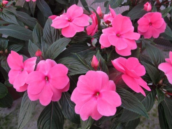Бальзамин Новогвинейский розовый