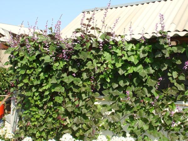 Долихос или гиацинтовые бобы или фиолетовые гирлянды: выращивание из семян, описание сортов