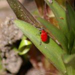 Из вредителей для лилий наиболее опасны красный лилейный жук
