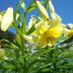 Кавказская лилия