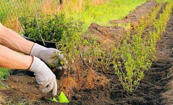 При посадке Кизильника учитывается размер кроны растения, и поэтому расстояние должно выдерживаться от 0,5 до 2 м
