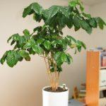 Кофейное дерево Coffea Arabica