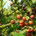 Кофейное дерево Coffea Liberica