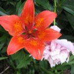 Кубковидная лилия