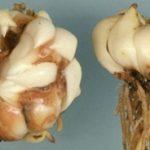 Луковица лилии Марлен поражена Фузариозом