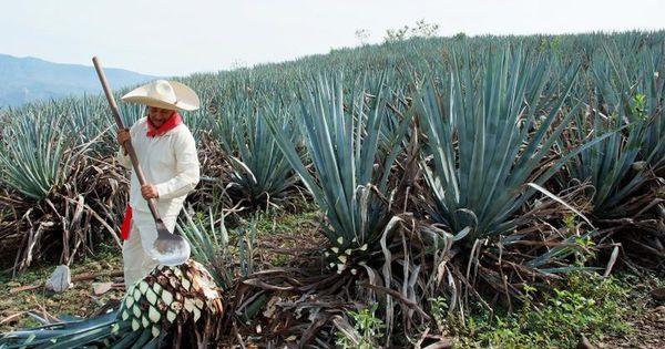 агава в Мексике