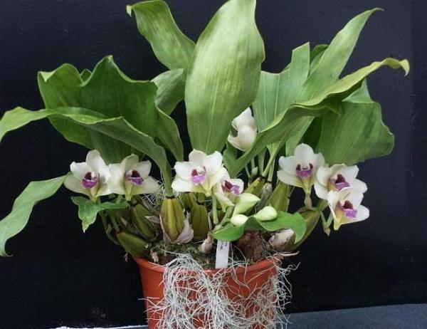 Орхидея Бифренария