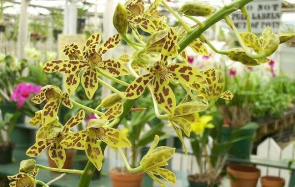 Орхидея Грамматофиллум