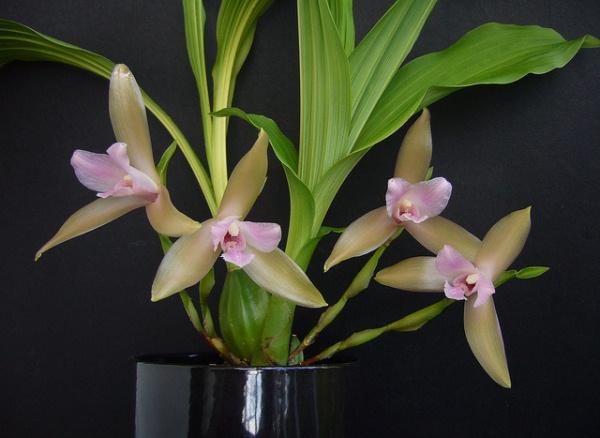 Орхидея Ликаста