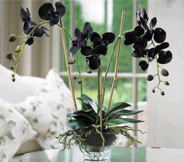 Орхидея Цимбидиум (черный)