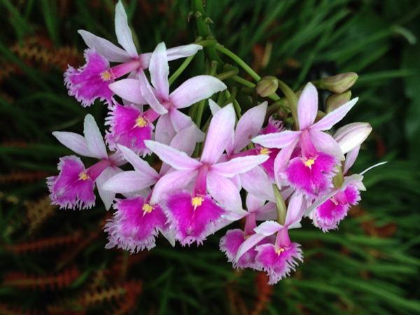Орхидея Эпидендрум