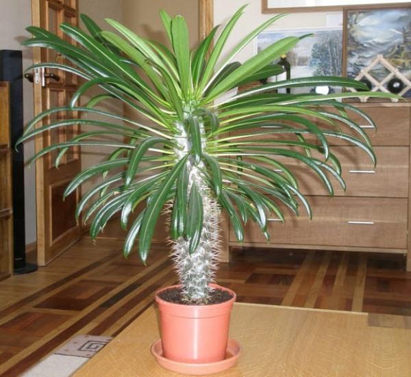 Пахиподиум или Мадагаскарская пальма