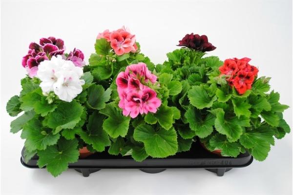 Пеларгонию подкармливают питанием, содержащим калий и фосфор, весной и летом