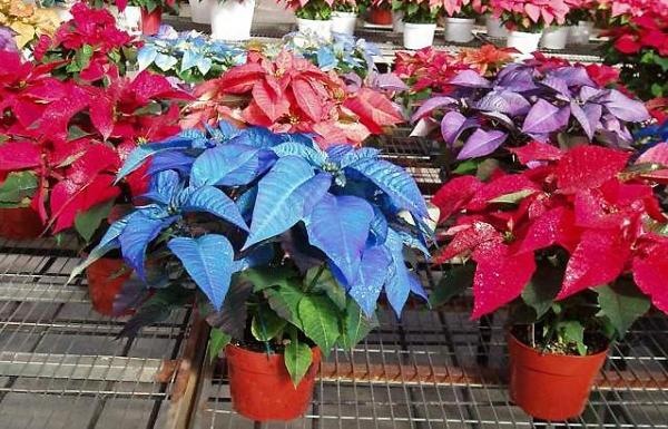 Ядовитые растения фото и название и описание