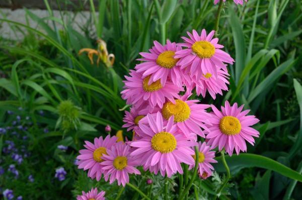 Розовая Садовая многолетняя ромашка