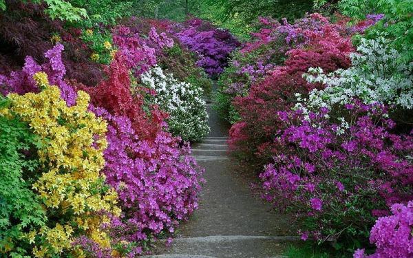 Садовая или озерная Азалия