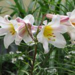 Североамериканская лилия