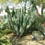 Семейство Цереусовых кактусов