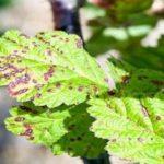 Септориоз или белая пятнистость листьев
