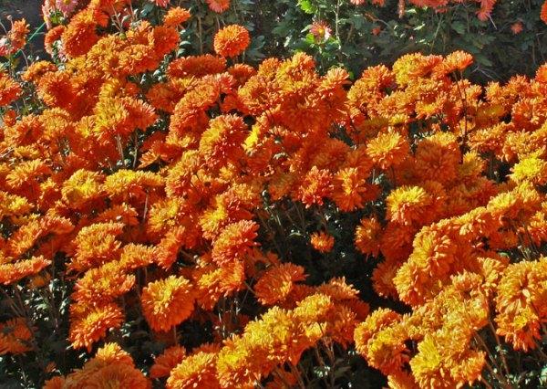 Хризантема Оранжевый закат