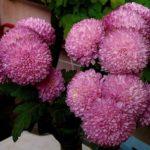Хризантемы с крупными соцветиями