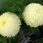 Хризантемы шаровидные