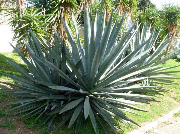 агава куст
