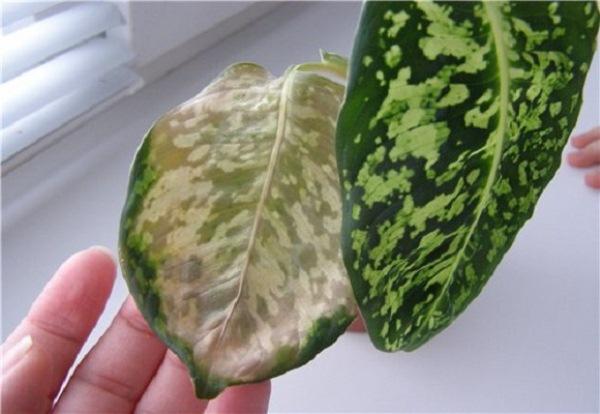 Пожелтевший лист пятнистой диффенбахии