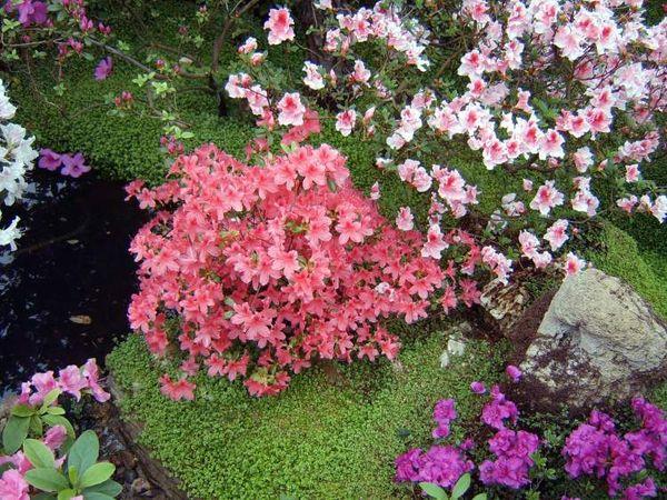 Азалия многолетняя садовая выращивание и уход фото 77