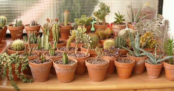 Кактусы: уход в домашних условиях, выращивание, какой цветёт только в зимнее время