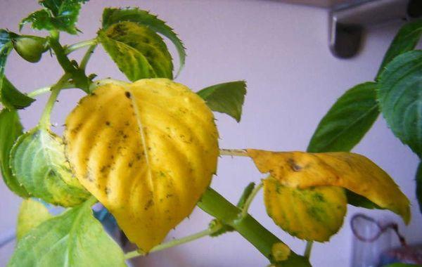 желтые листья бальзамин
