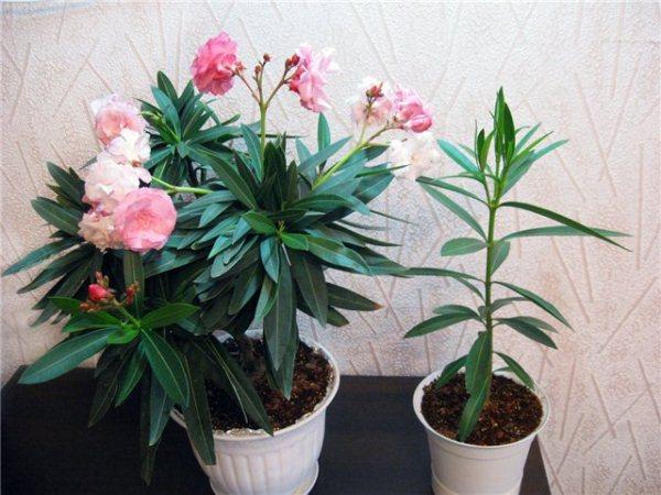Гипоаллергенные цветы комнатные