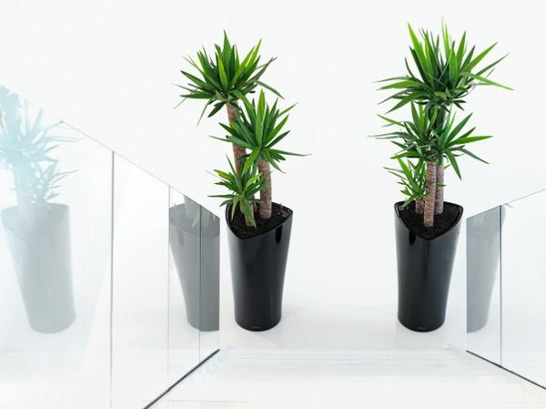 юкка дерево пальма