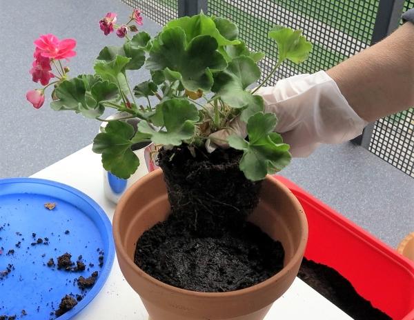 Пересаживают растение раз в 2-3 года, весной, при каждой пересадке используют горшок, который в диаметре на 2 см больше предыдущего