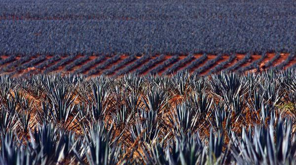 плантация агавы