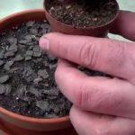размножение гиппеаструма