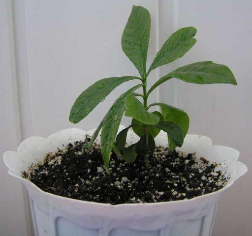 семена гардении