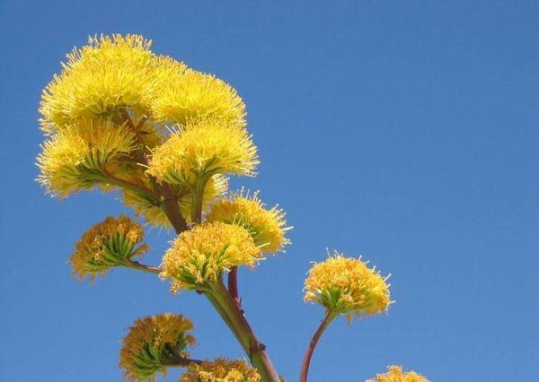 агава цветет