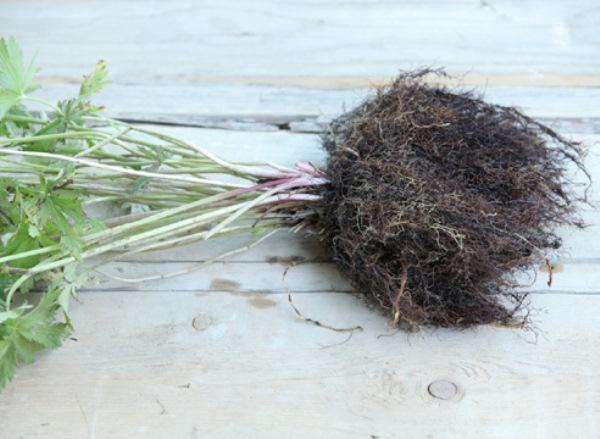 Выкопанный для пересадки куст купальницы не нужно отряхивать от земли, так как при этом нежные и тонкие корни быстро подсушиваются и отмирают