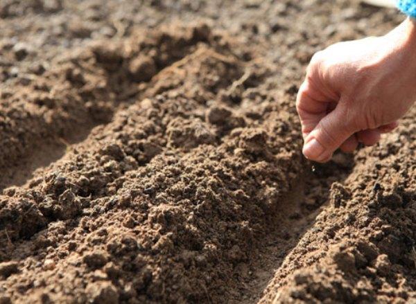 Посев семян Нивяника для выращивания в грунте совершается поздней весной или ранней осенью