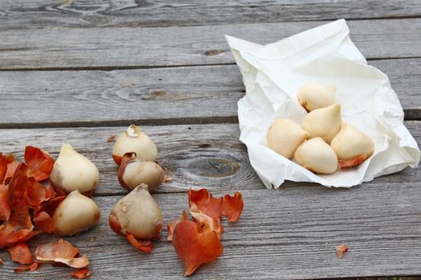 Когда бутоны тюльпанов начнут набирать цвет, их срезают, луковки выкапывают и помещают на нижнюю полку холодильника
