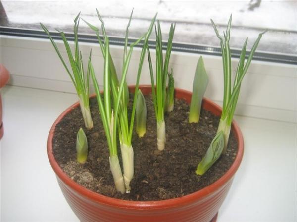 Условия выращивания: освещенность не менее 10-12 часов и температура 12-18 градусов