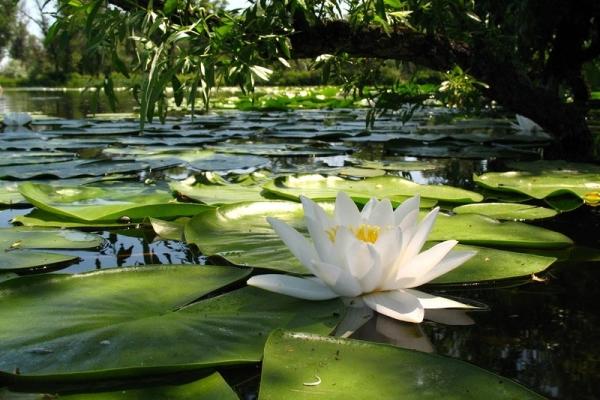 Водяная лилия – это растение-амфибия, может произрастать как на воде, так и на суше