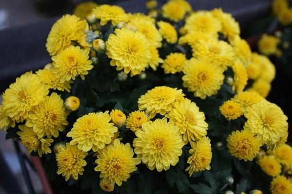 Желтые хризантемы означают о намерениях признаться своей второй половинке в самых искренних чувствах, в любви