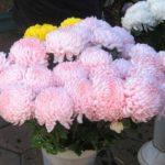 Выражая свои чувства при конфетно-букетном периоде можно, не раздумывая, дарить розовые хризантемы