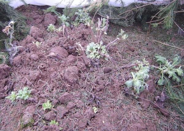 После окончательного установления морозной погоды корейские хризантемы можно укрыть лапником, ветками, а сверху набросать сухую листву
